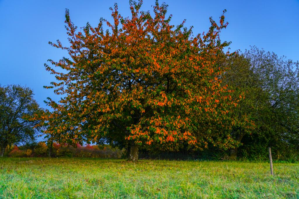 Herbstbaum im Abendlicht