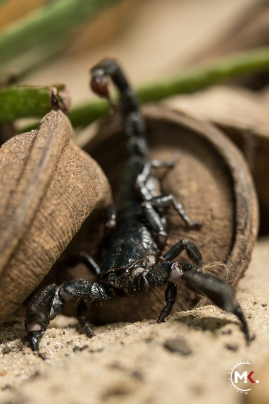 Skorpion - Manuela Küderle